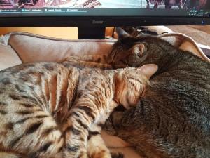 deux chats lovés l'un contre l'autre sur le canapé