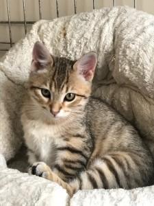 chaton tigré dans un panier