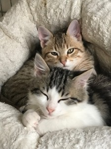 deux chatons l'un contre l'autre dans un panier