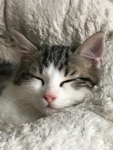 chaton tigré et blanc endormi